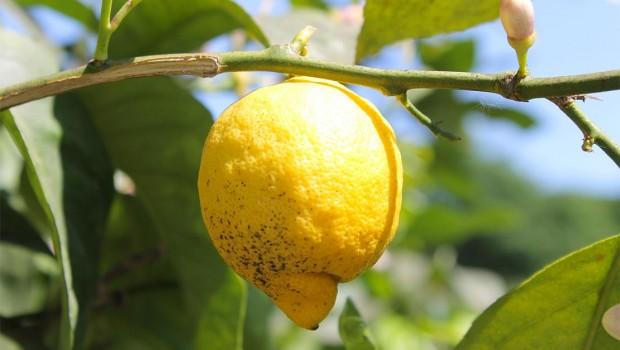 Limone: pianta da mille benefici