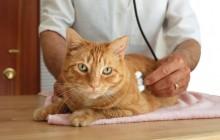FeLV ossia Leucemia Felina