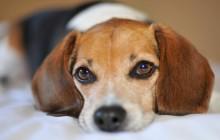 Leishmaniosi: curare il vostro cane