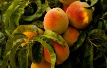 Piante da frutto: trattamenti di maggio