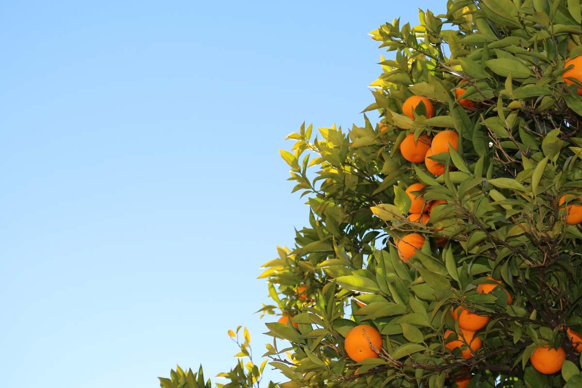 Piante da frutto in vaso un frutteto sul terrazzo for Piante da frutto vaso